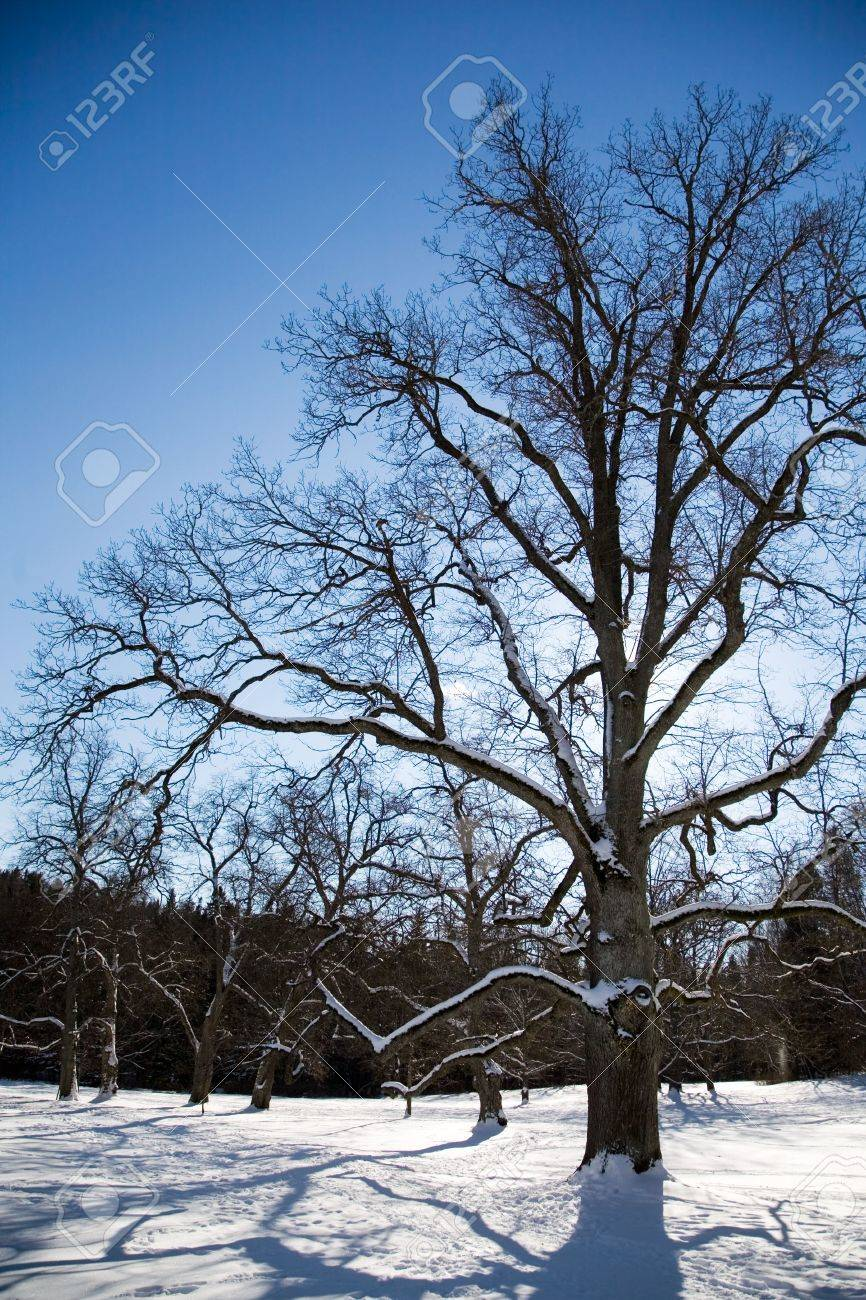 Big maple tree in winter Standard-Bild - 2652427