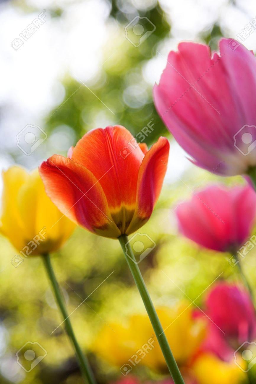 Beautiful tulips in yellow, pink and orange Stock Photo - 7004743