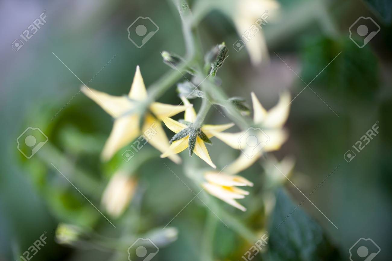 Tomato Plant With Yellow Flowers Stock Photo Picture And Royalty