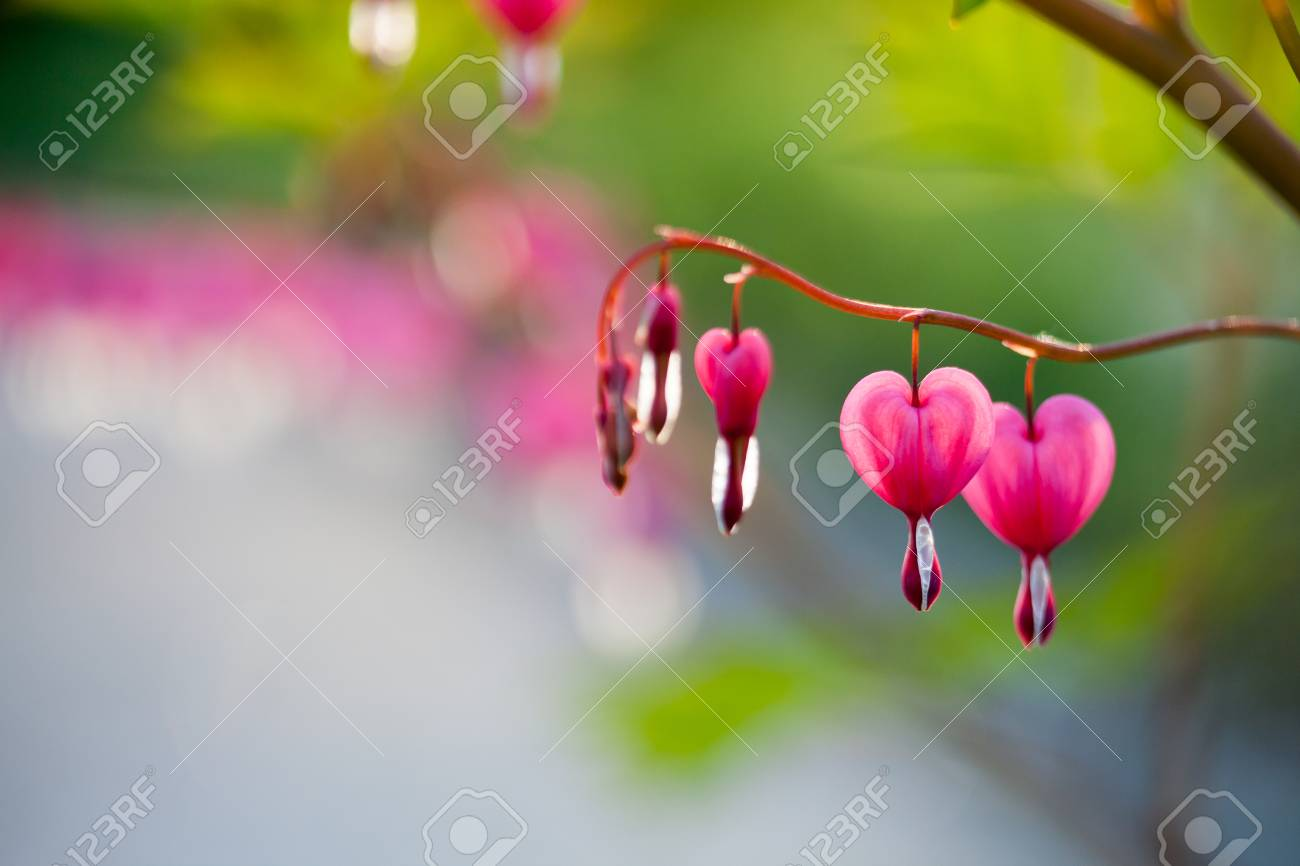 Pink bleeding heart flower hanging stock photo picture and royalty pink bleeding heart flower hanging stock photo 79804424 mightylinksfo