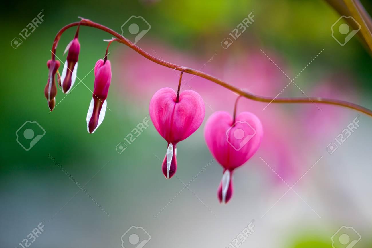 Pink bleeding heart flower hanging stock photo picture and royalty pink bleeding heart flower hanging stock photo 79804442 mightylinksfo