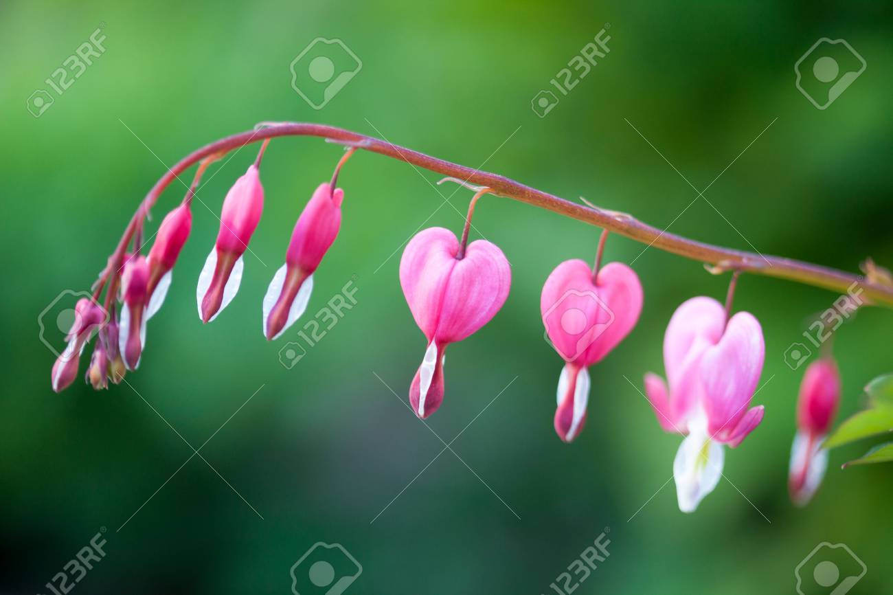 Pink Bleeding Heart Flower Hanging Stock Photo Picture And Royalty