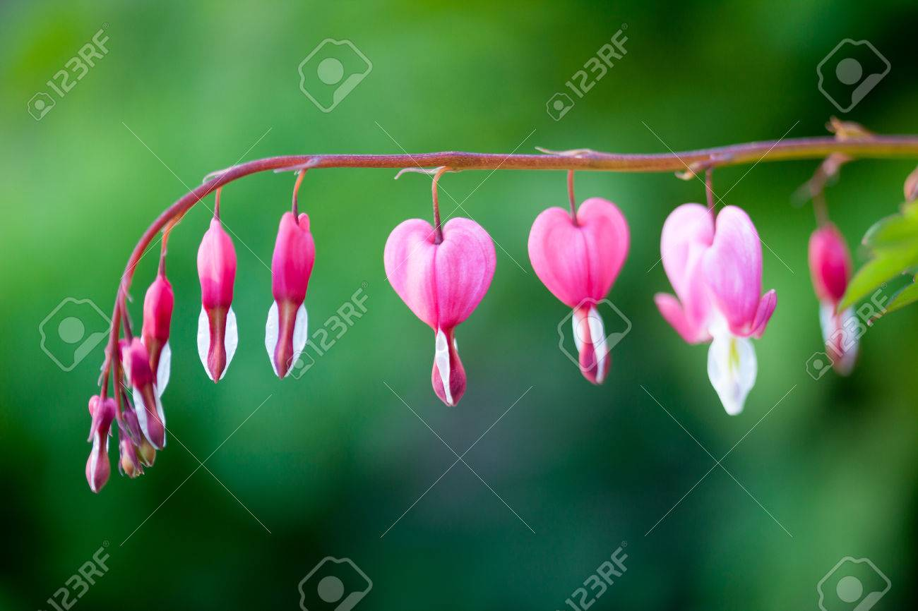Pink bleeding heart flower hanging royalty free stok fotoraf pink bleeding heart flower hanging stok fotoraf 79804553 mightylinksfo