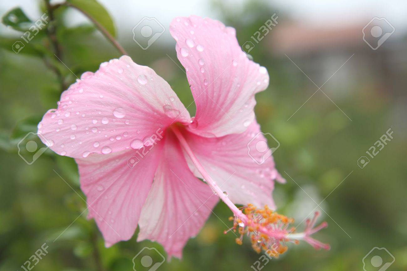 Pink Hibiscus Flower With Water Drop Stock Photo Picture And