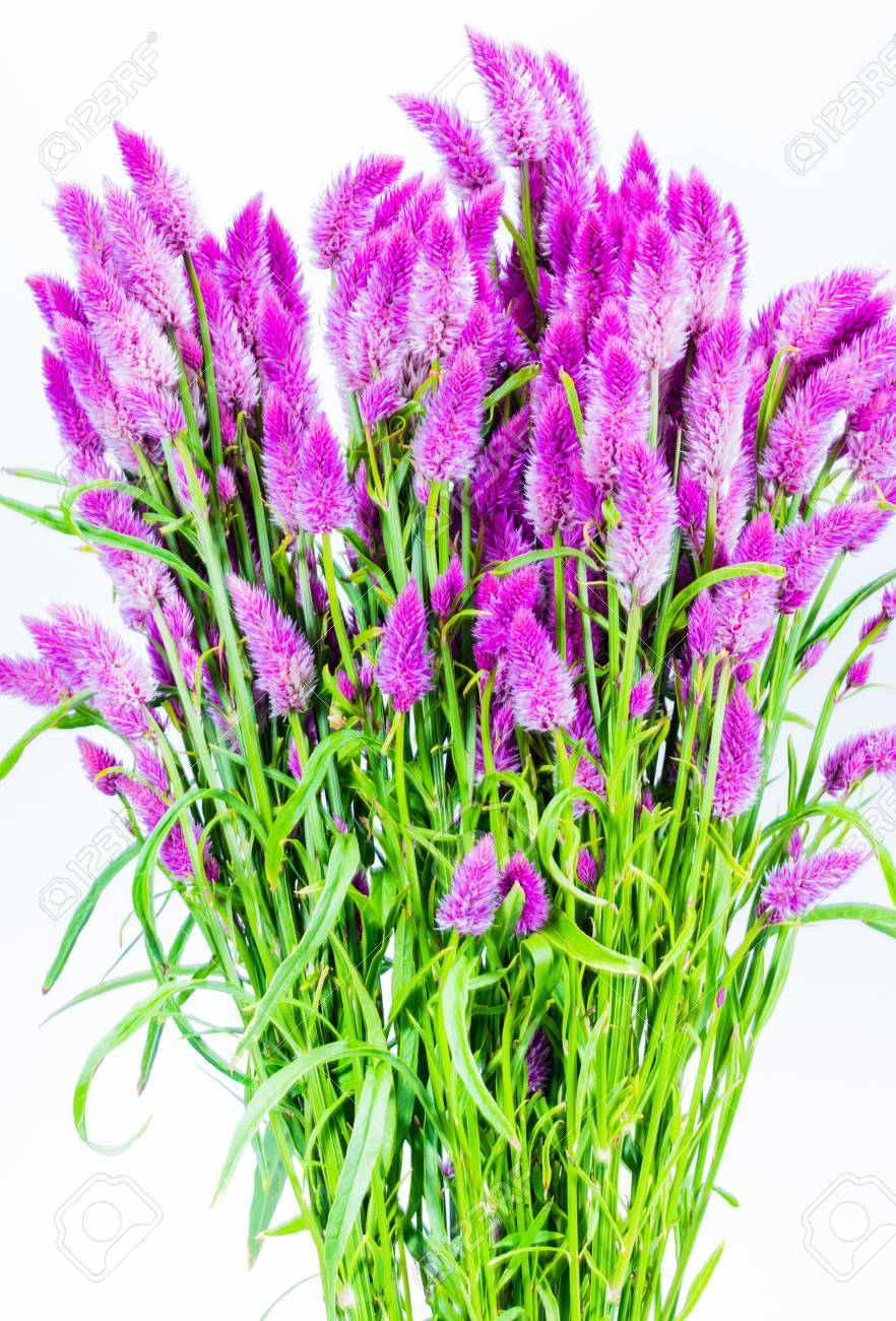 Bunch Of Purple Cattail Flower Showing Stems And Leaves On White