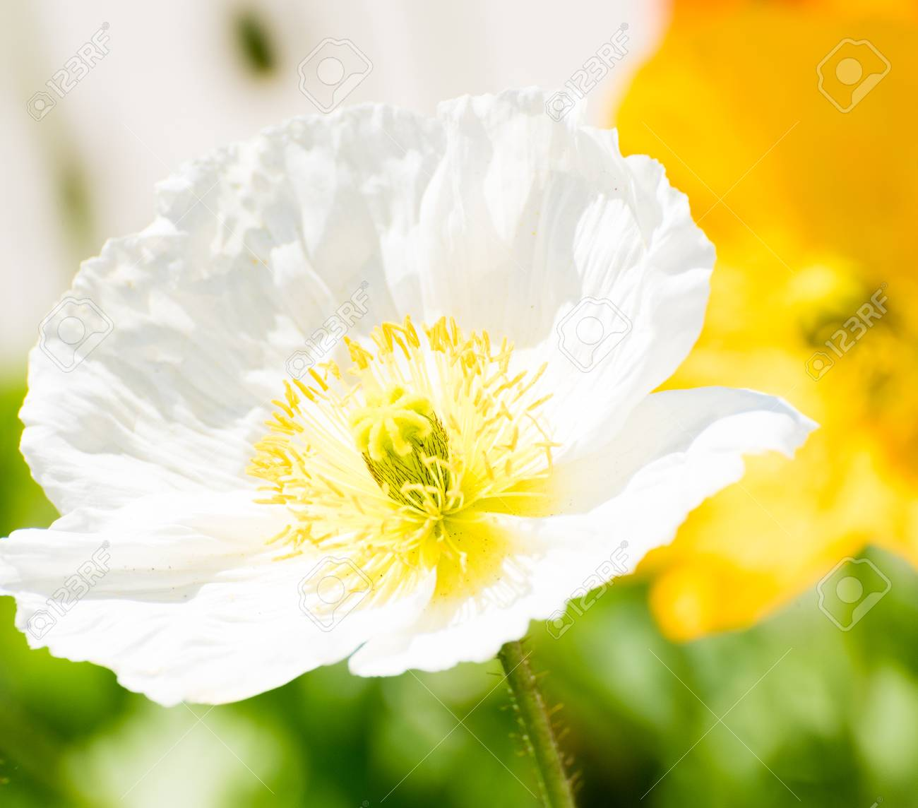 White poppy flower stock photo picture and royalty free image stock photo white poppy flower mightylinksfo