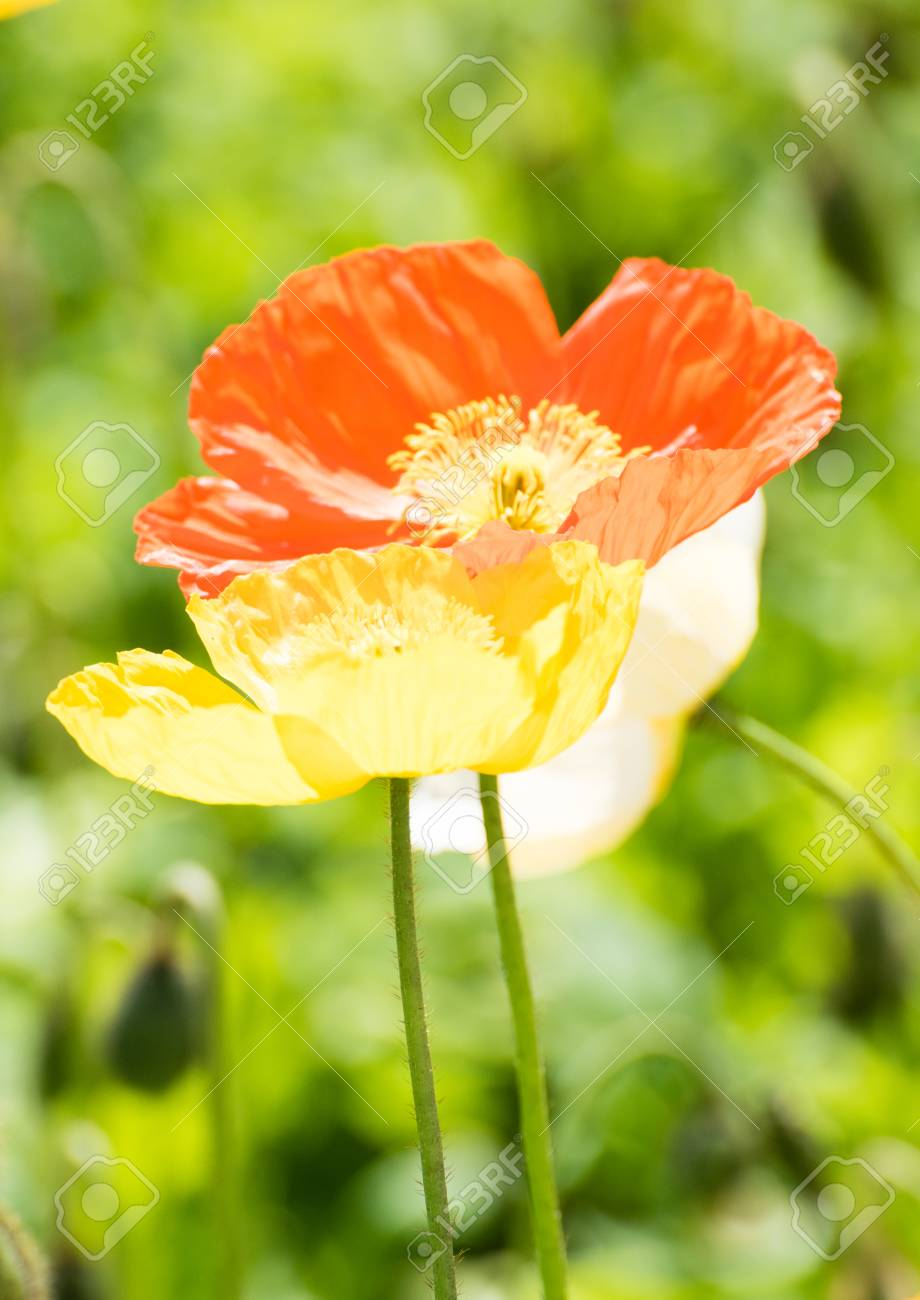 Red And Yellow Poppies Stock Photo Picture And Royalty Free Image