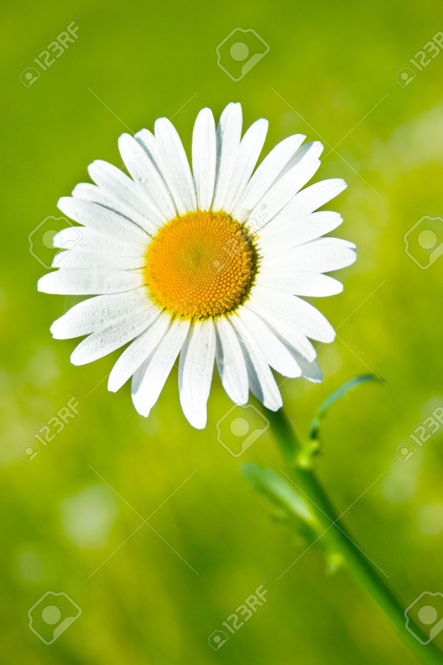 Fresh and beautiful daisy flower in the garden stock photo picture fresh and beautiful daisy flower in the garden stock photo 5108967 izmirmasajfo