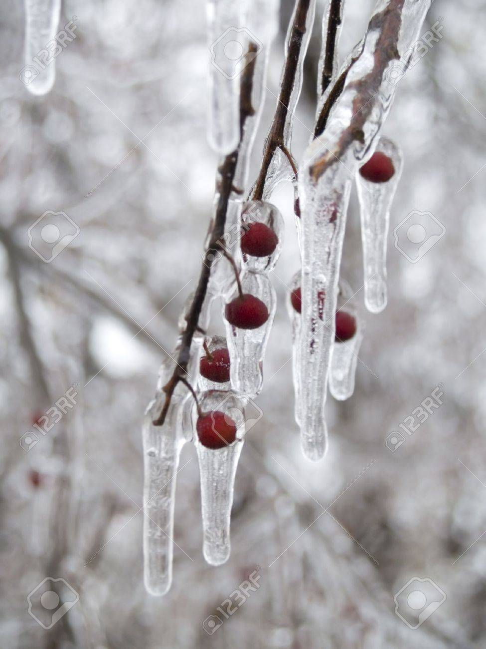 A Tree Branch With Red Berries Coated With Ice And Icicles. Stock ...