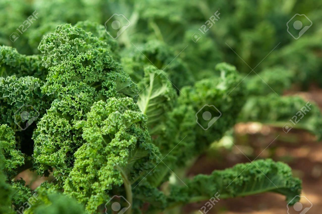 Kale in an organic garden Stock Photo - 14127919