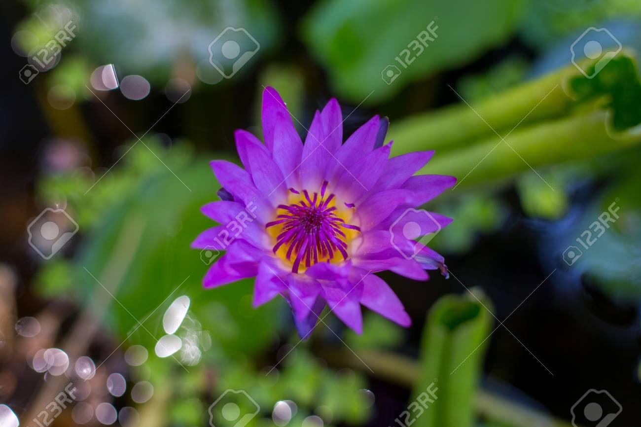 Beautiful purple lotus flower violet lotus blooming in the pond beautiful purple lotus flower violet lotus blooming in the pond closeup lotus flower lotus violet nice izmirmasajfo