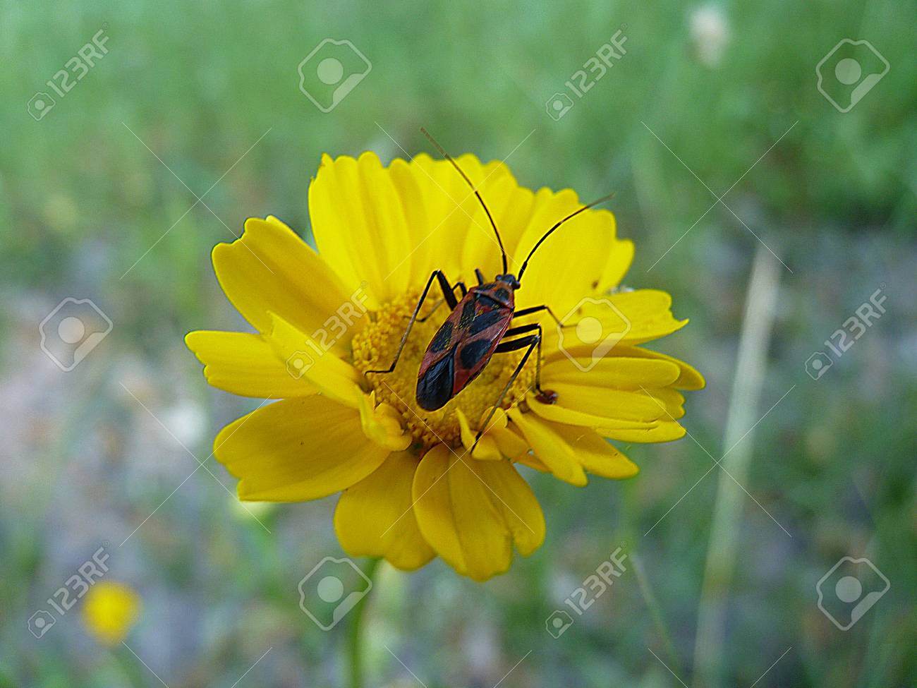 Yellow Flower With Insect In The Center Taking Nectar