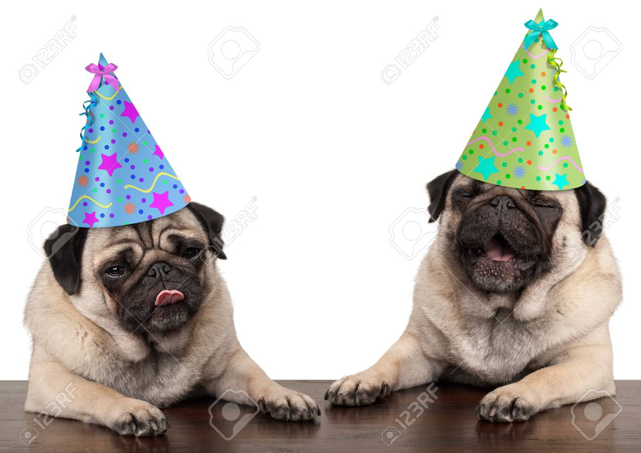 Adorable Cute Pug Dog Puppies Singing And Wearing Birthday Hat Isolated On White Background Stock