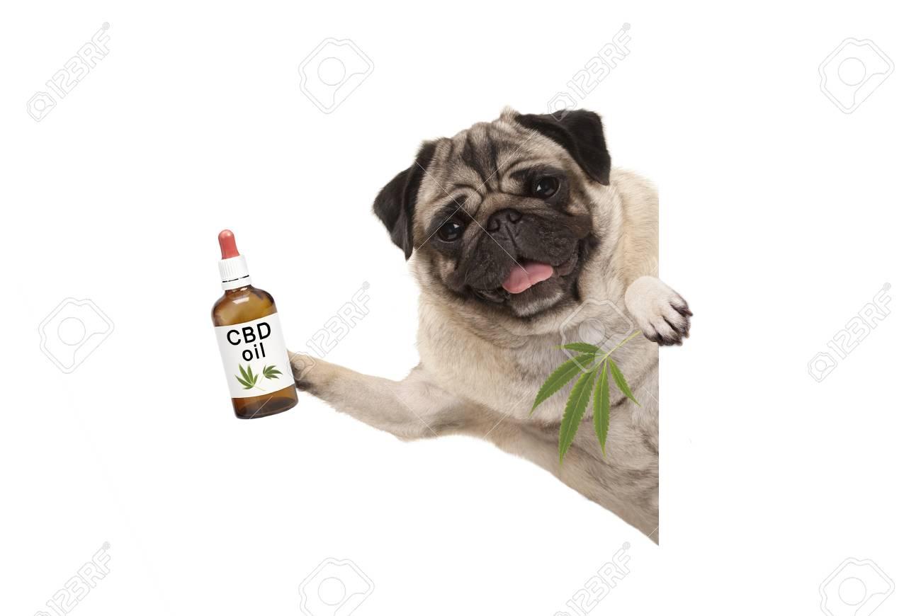 cute smiling pug puppy dog holding up bottle of CBD oil and marijuana hemp leaf, isolated on white background - 93233686
