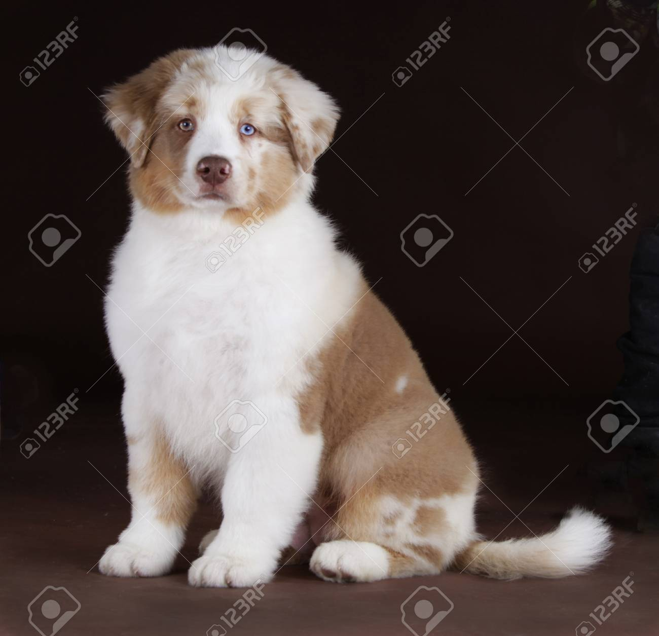 Australian Shepherd Dog With Blue And Brown Eyes In Studio Stock Photo Picture And Royalty Free Image Image 68653061