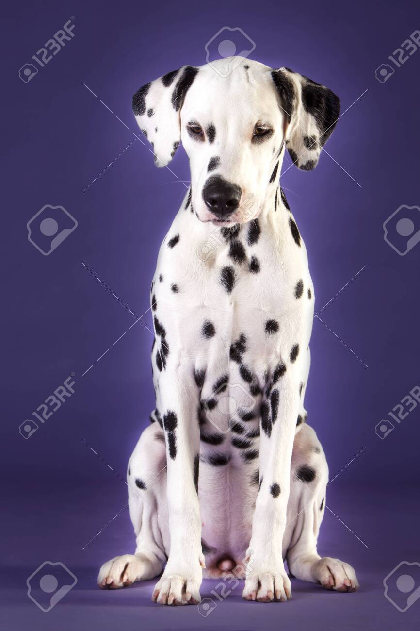 Baby Dalmatian Dog In Studio With Blue Background Stock Photo Picture And Royalty Free Image Image 135760578