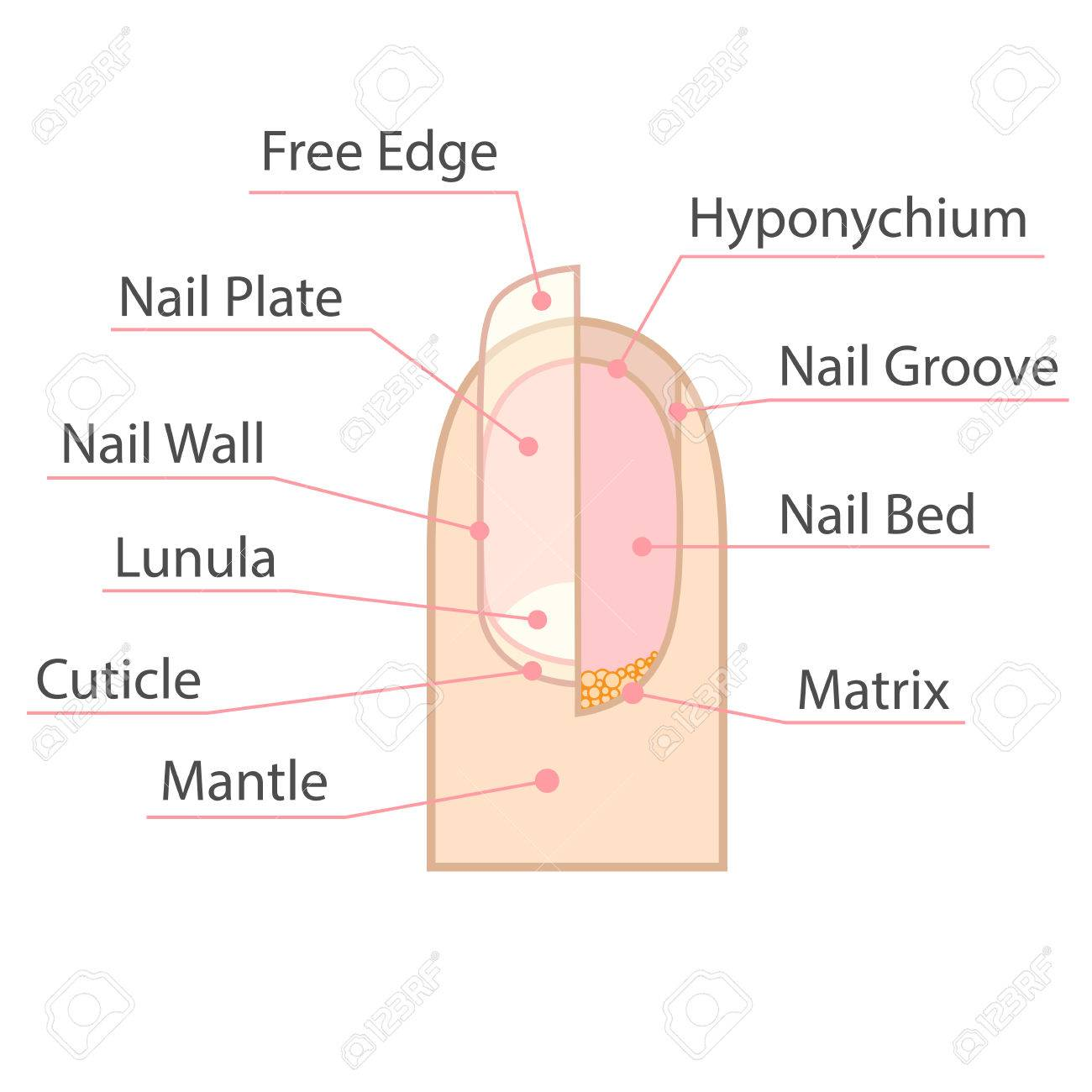 Structure and anatomy of human nail color medical scheme on structure and anatomy of human nail color medical scheme on white background isolated illustration ccuart Images