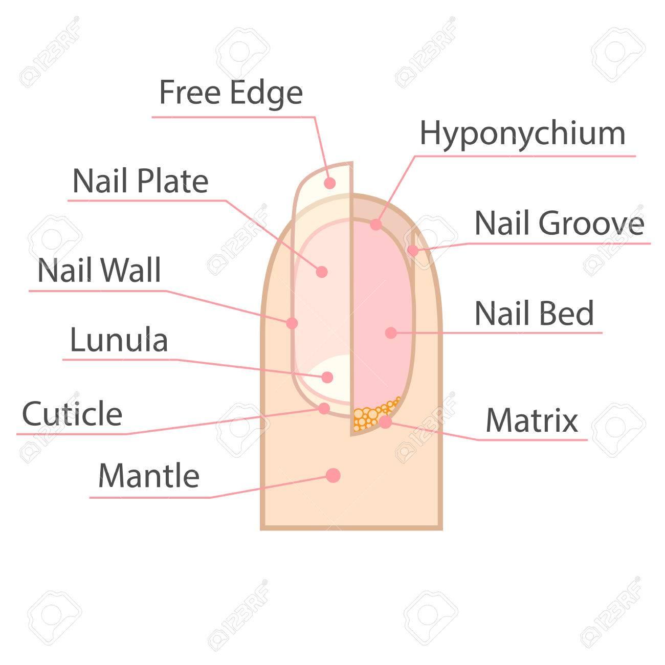 Struktur Und Anatomie Des Menschlichen Nagels. Farbe Medizinisches ...