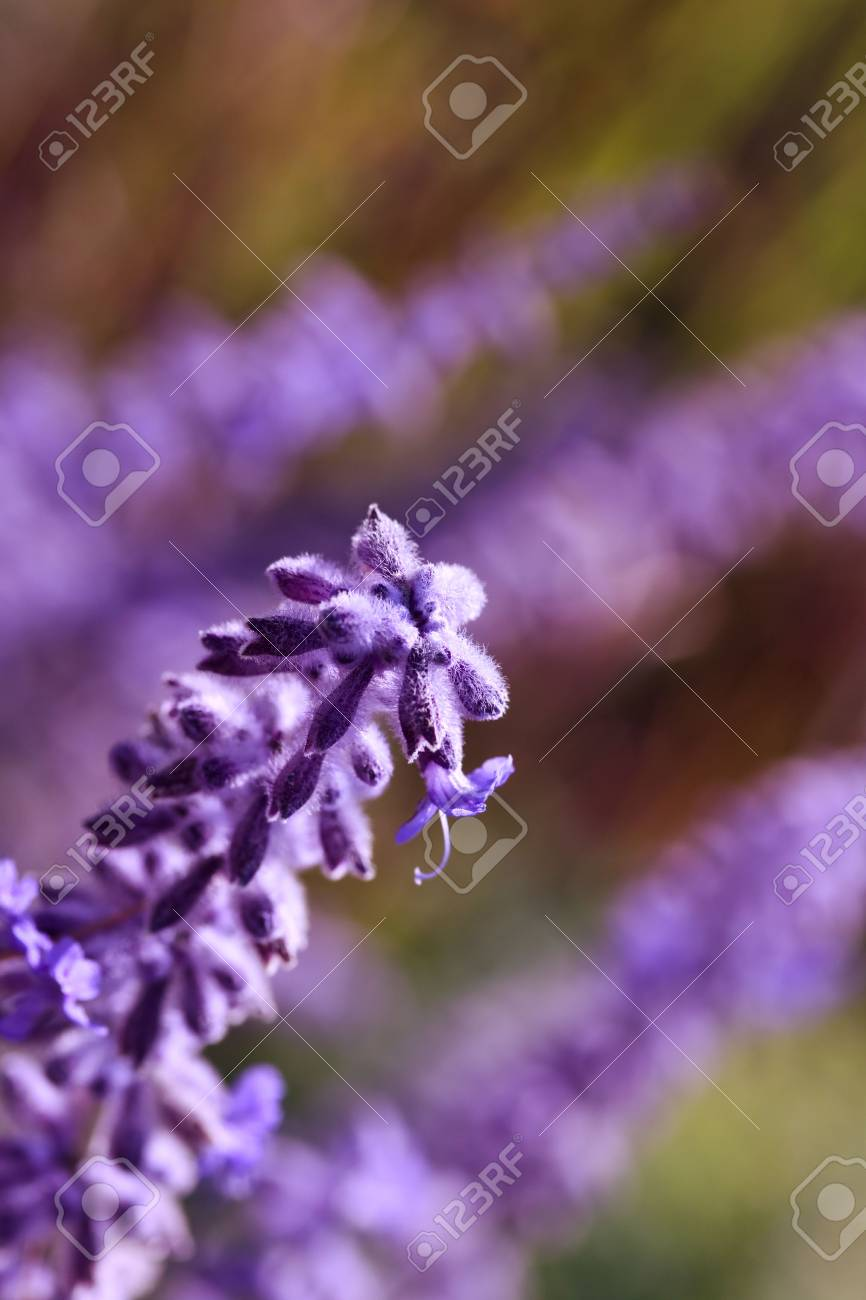 Blooming Lavender Flowers In Late Spring Time Stock Photo Picture