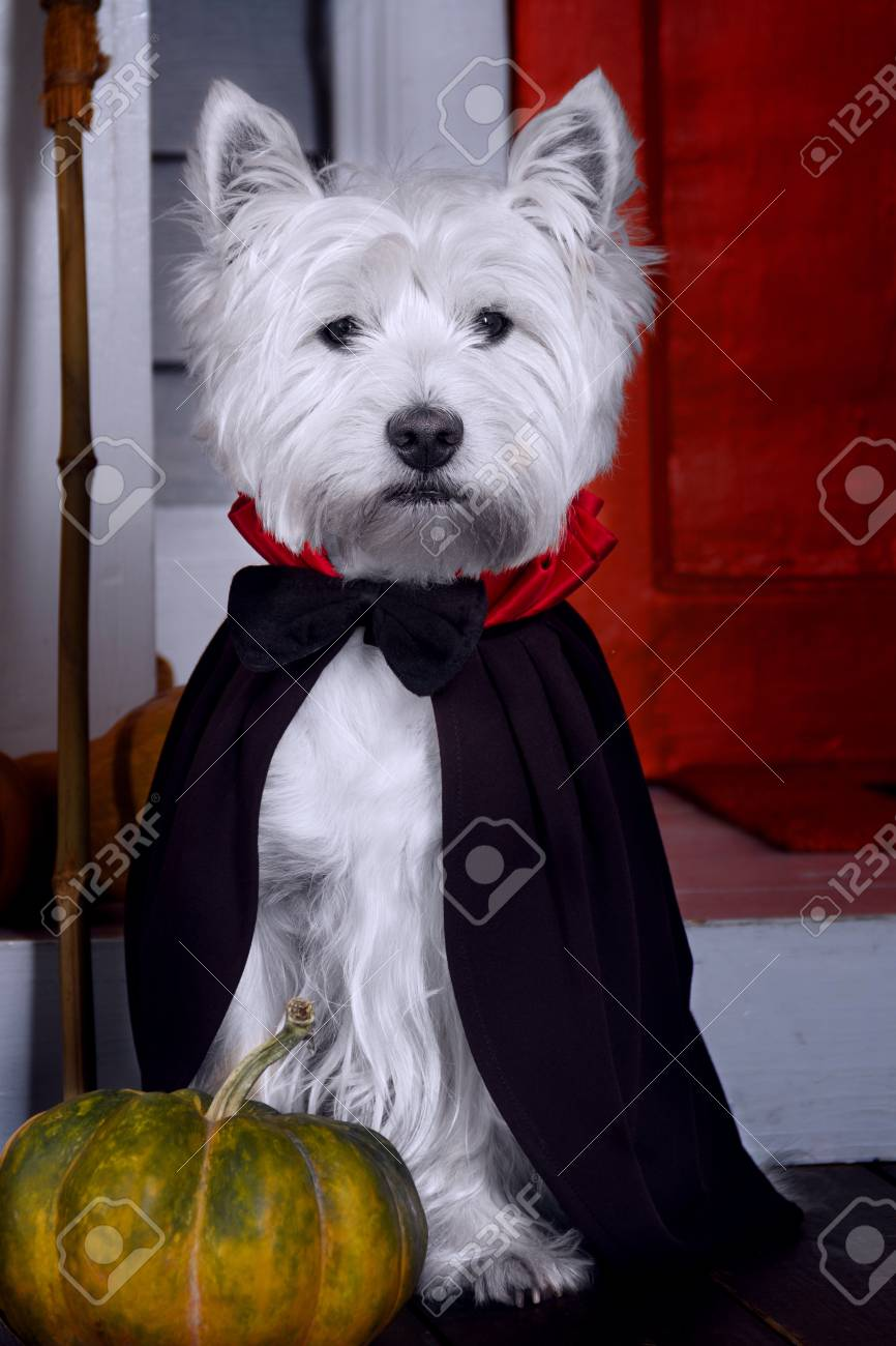 Funny west highland white terrier dog in scary halloween costume and black Dracula cloak sitting outdoor with pumpkins with fear spooky faces and autumns fail leaves. Halloween night concept. - 107115000