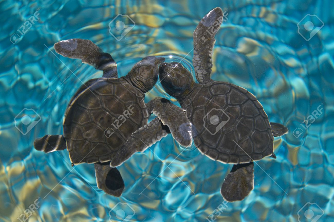 Baby Water Turtle Pictures Baby Sea Turtles in Water