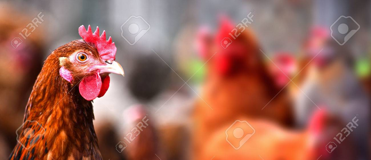 Chickens on traditional free range poultry farm. - 81385109