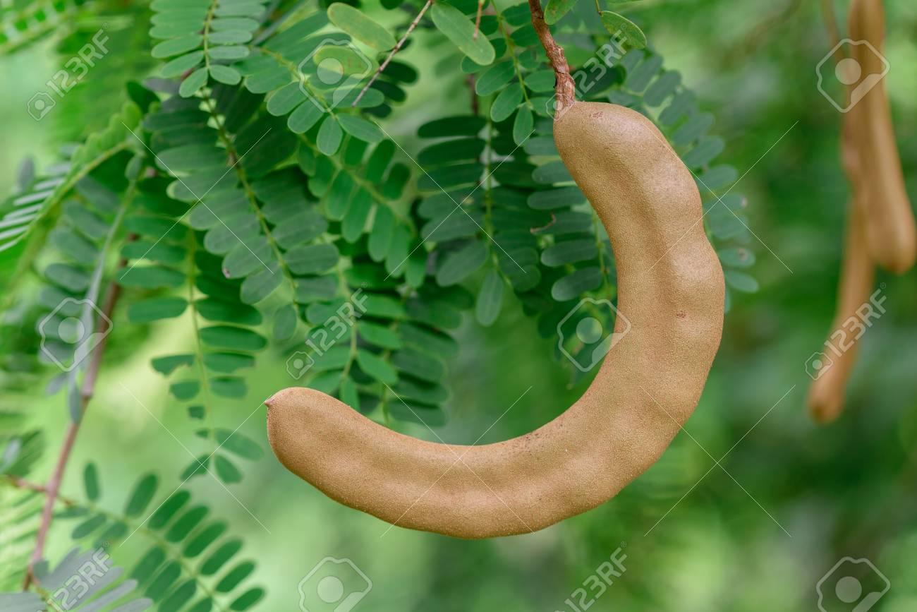 El arbol de tamarindo