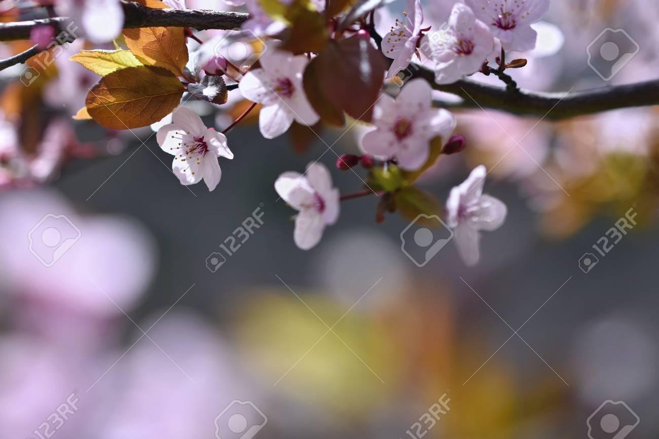 arbre fleur. fond de la nature. fleurs de printemps. beau verger