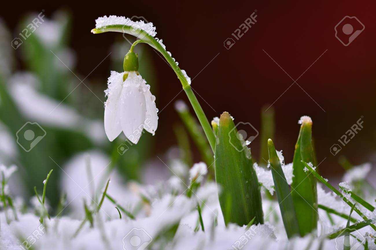 snowdrops spring flowers beautifully blooming in the grass at