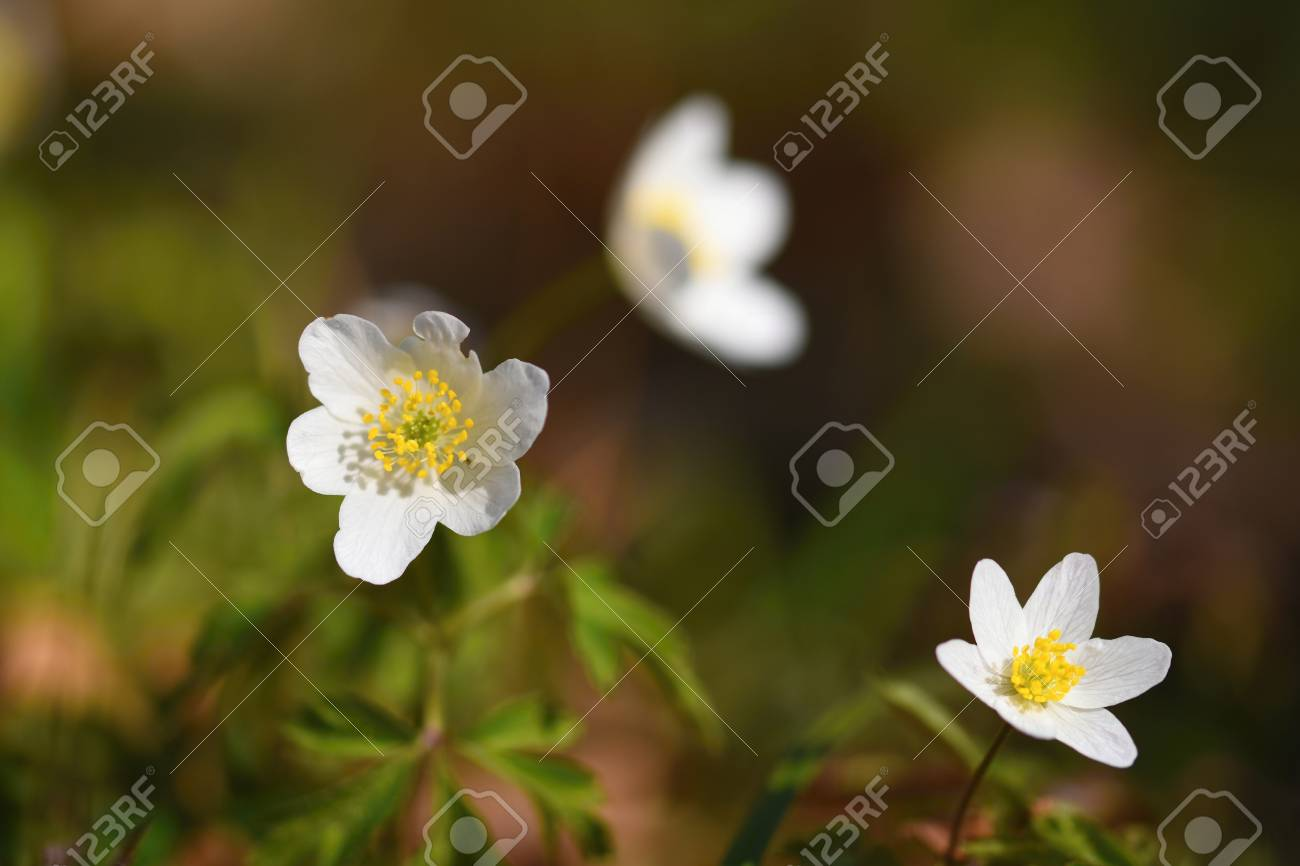 Spring White Flowers In The Grass Anemone Isopyrum Thalictroides