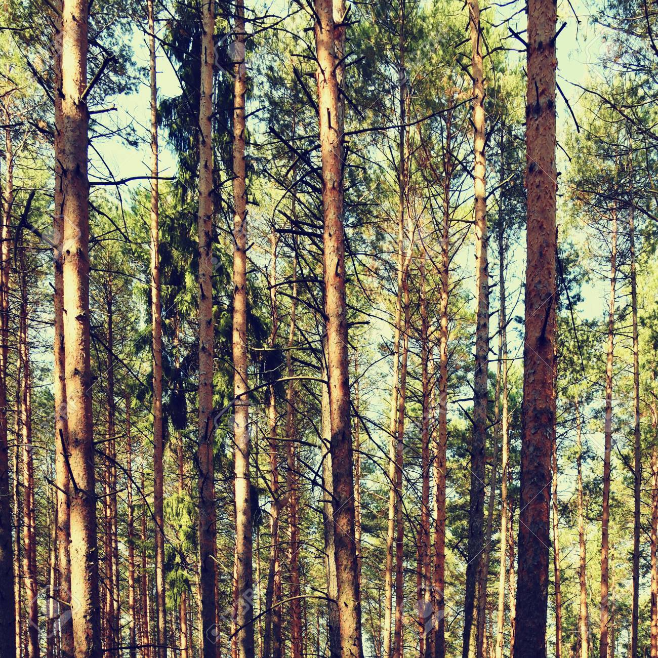 Beautiful Natural Forest Background Coniferous Trees On A Beautiful