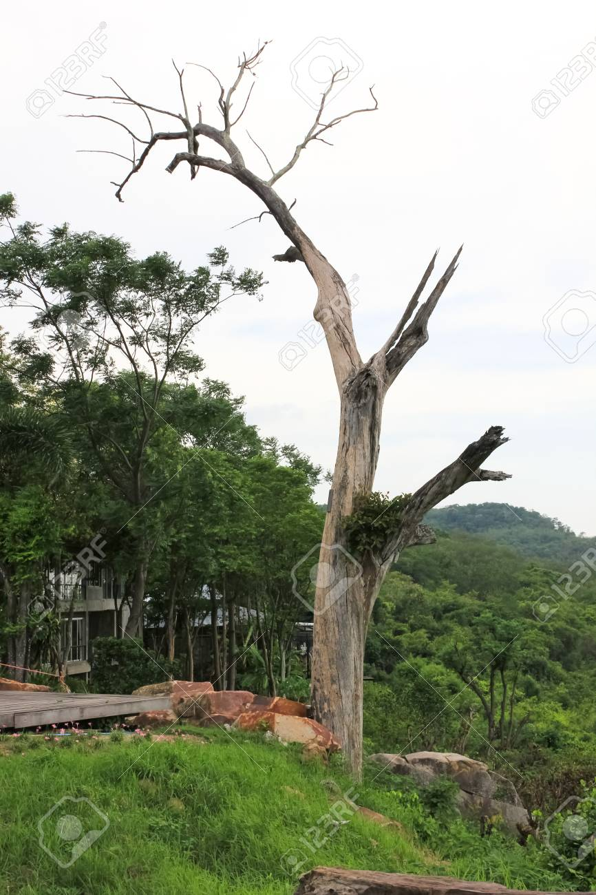 Tree with no leaves in the tropics Stock Photo - 13785673