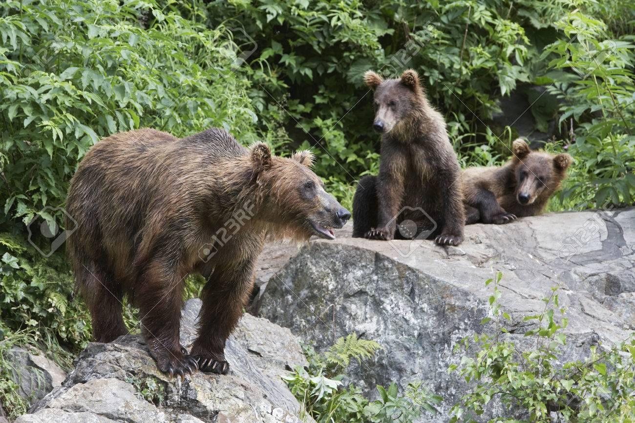 USA, Alaska, three Brown Bears on rocks Stock Photo - 3811562