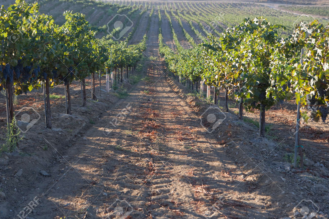 Grapes in vineyard Stock Photo - 5438055
