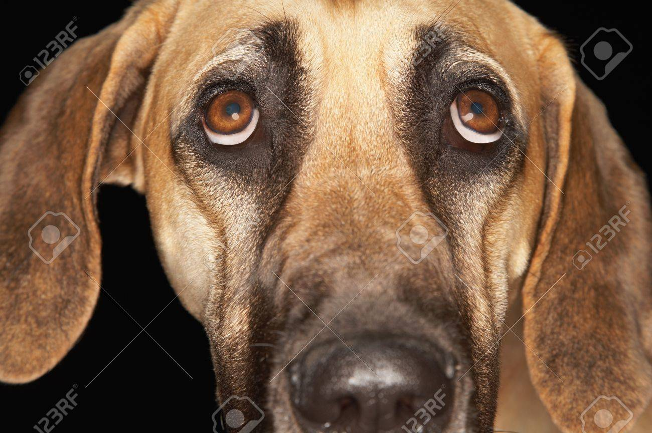 Brazilian mastiff (Fila brasileiro) close-up Stock Photo - 8844776