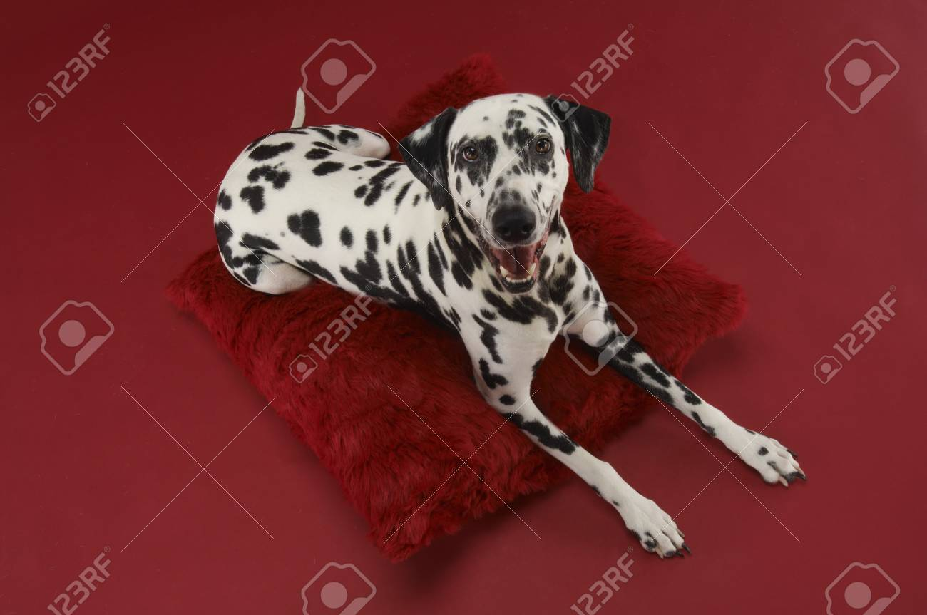 Dalmatian Dog on Pillow Stock Photo - 12514109