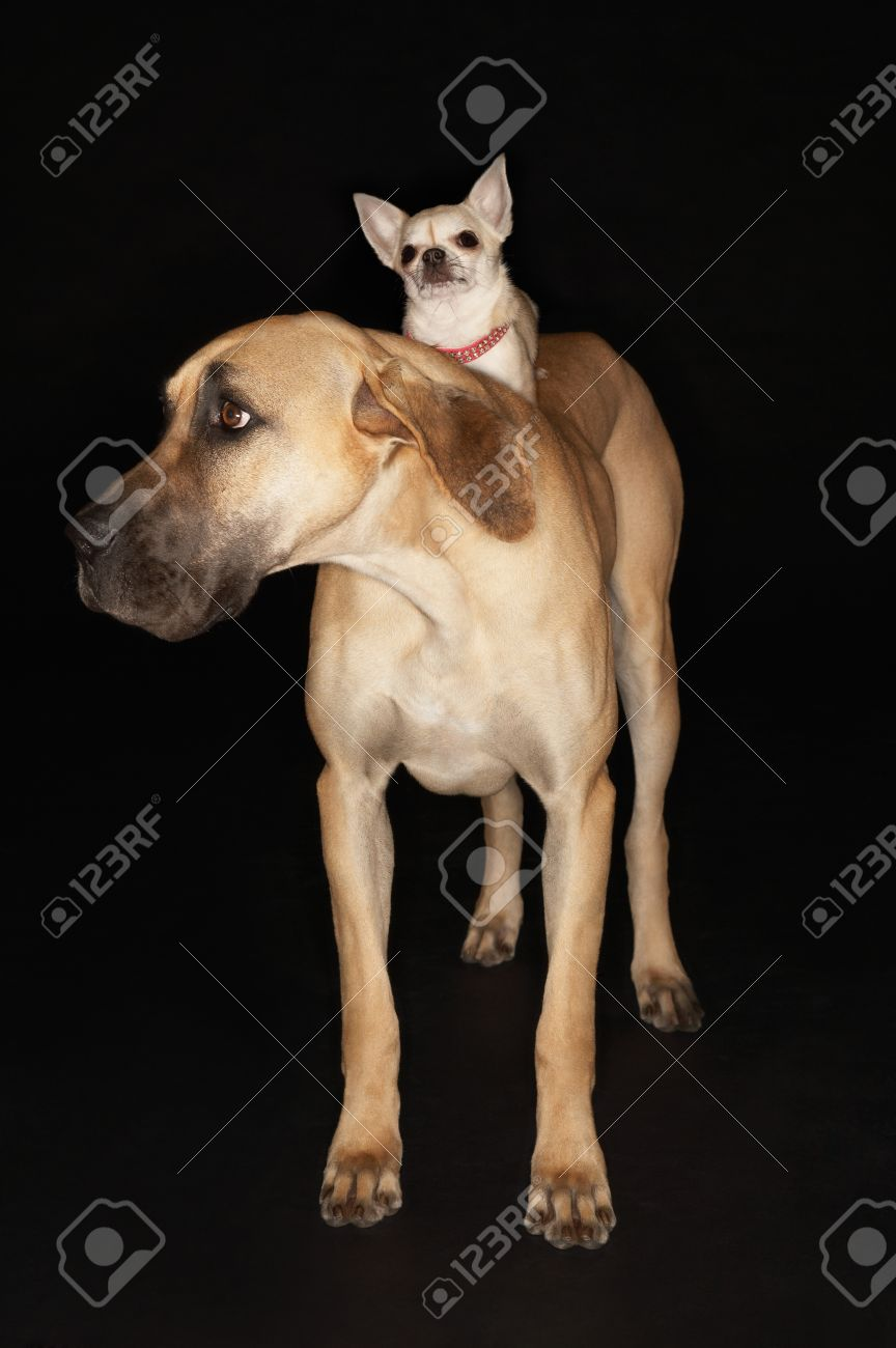 Chihuahua riding on Brazilian mastiff (Fila brasileiro) Stock Photo - 12514139