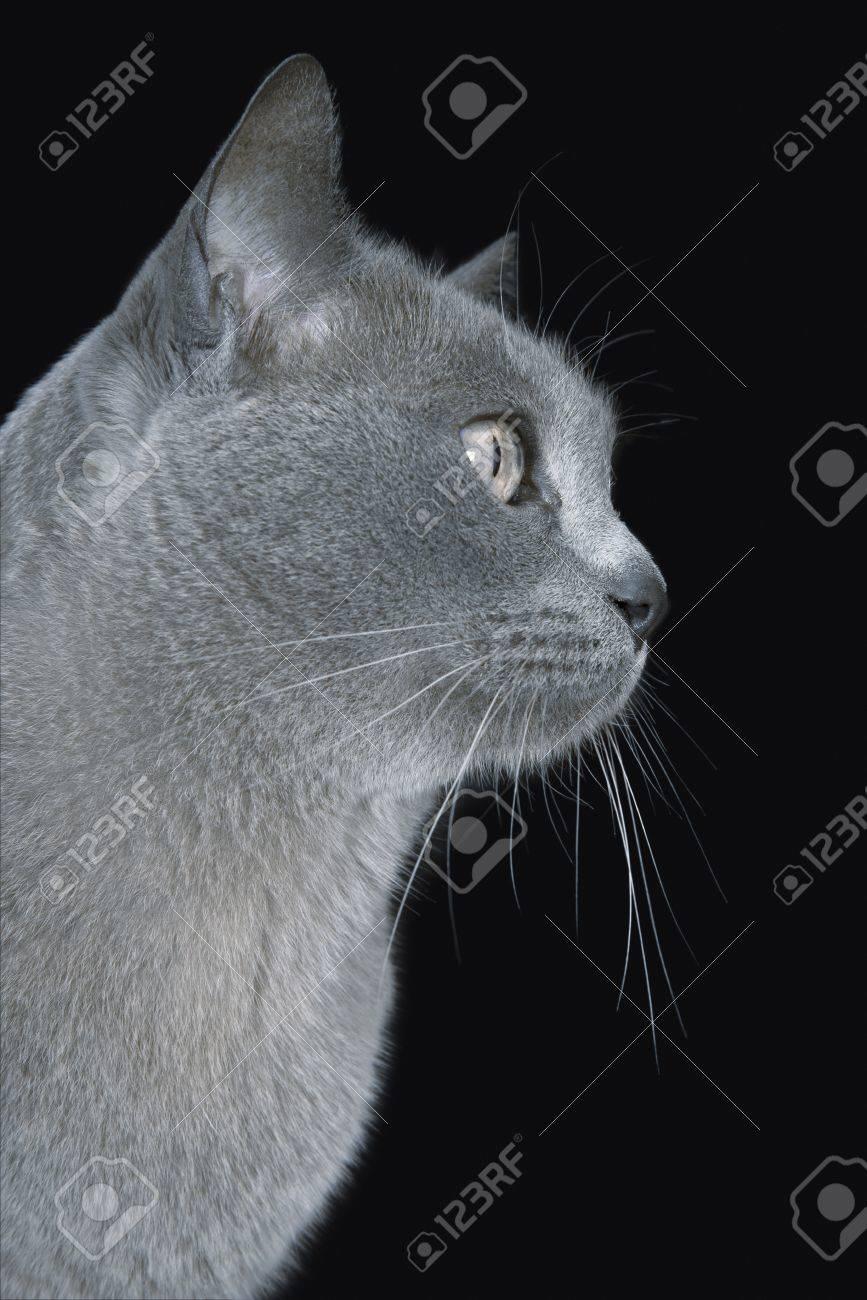 Blue Burmese cat close-up Stock Photo - 12547868