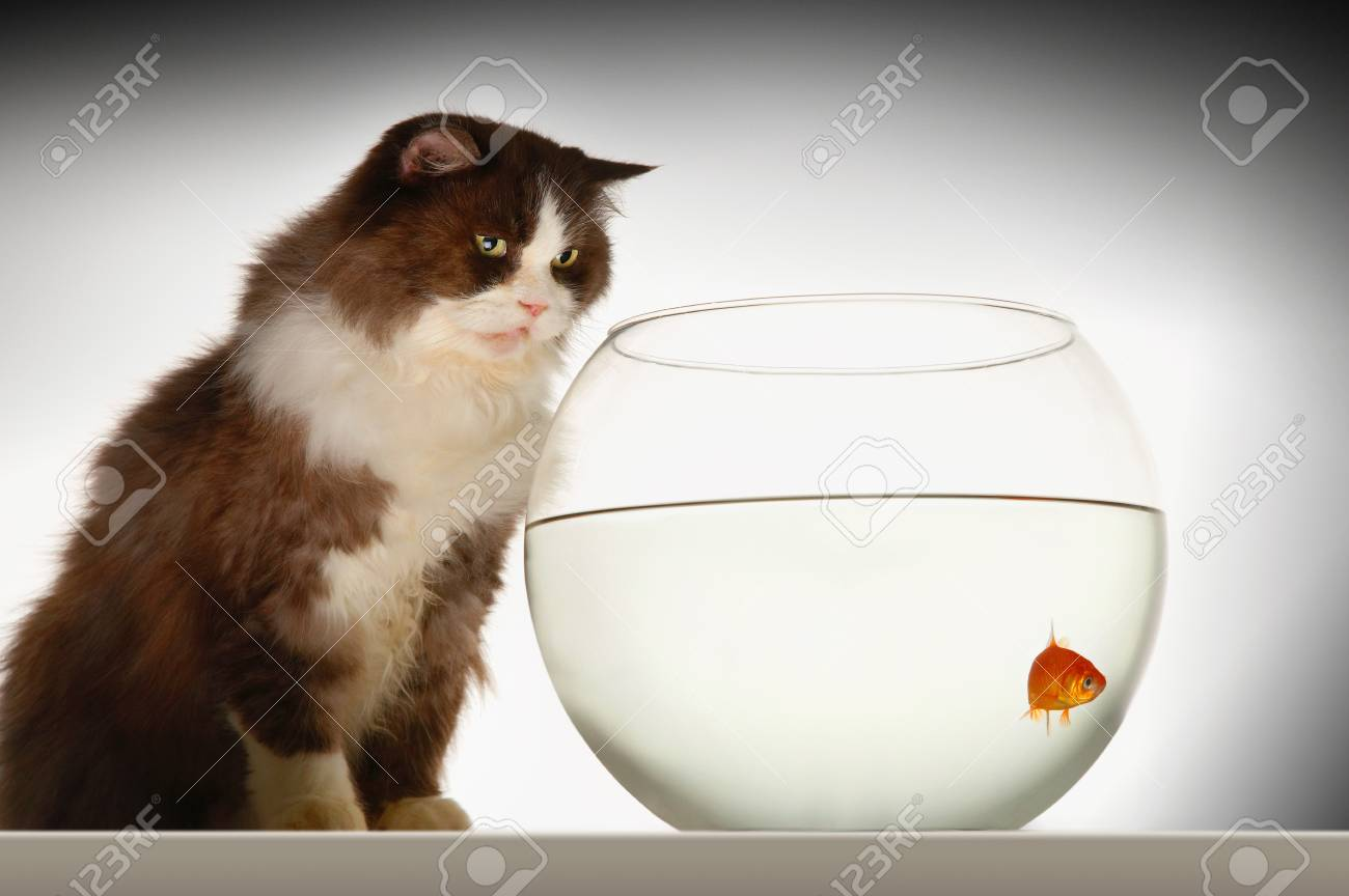Cat sitting looking at goldfish in fishbowl side view Stock Photo - 18897114