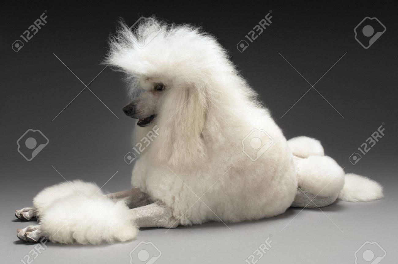 White Poodle on grey background Stock Photo - 19546302