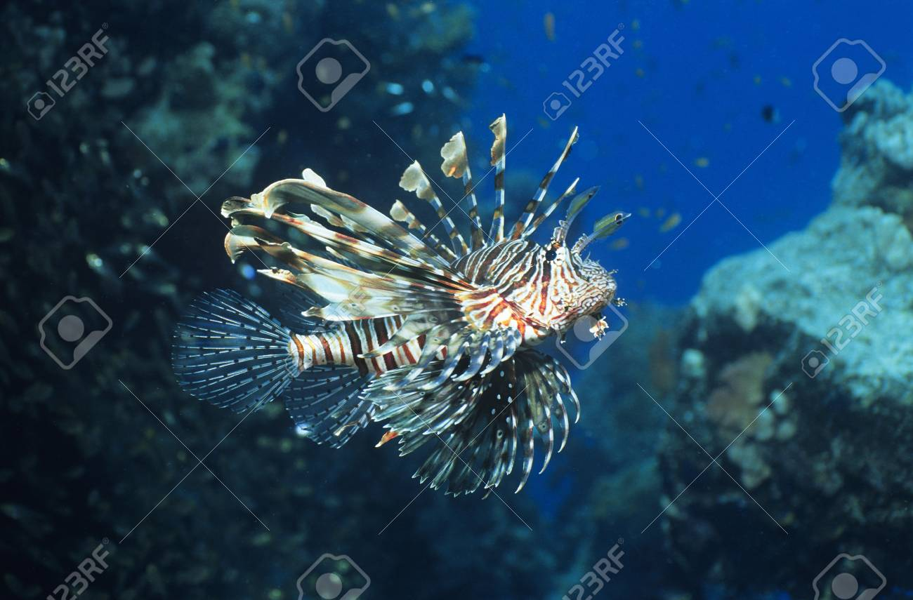 Lionfish swimming in ocean Stock Photo - 19076449