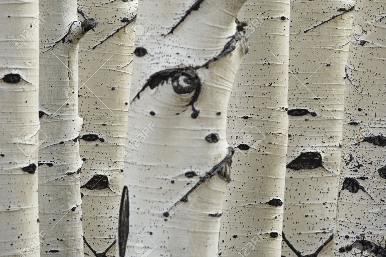 Birch trees in a row close-up of trunks Stock Photo - 19078603