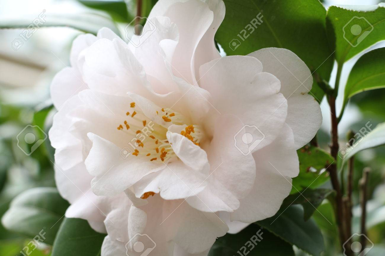 Camellia Japonica Closeup Of A White Camellia Tea Flower In Stock