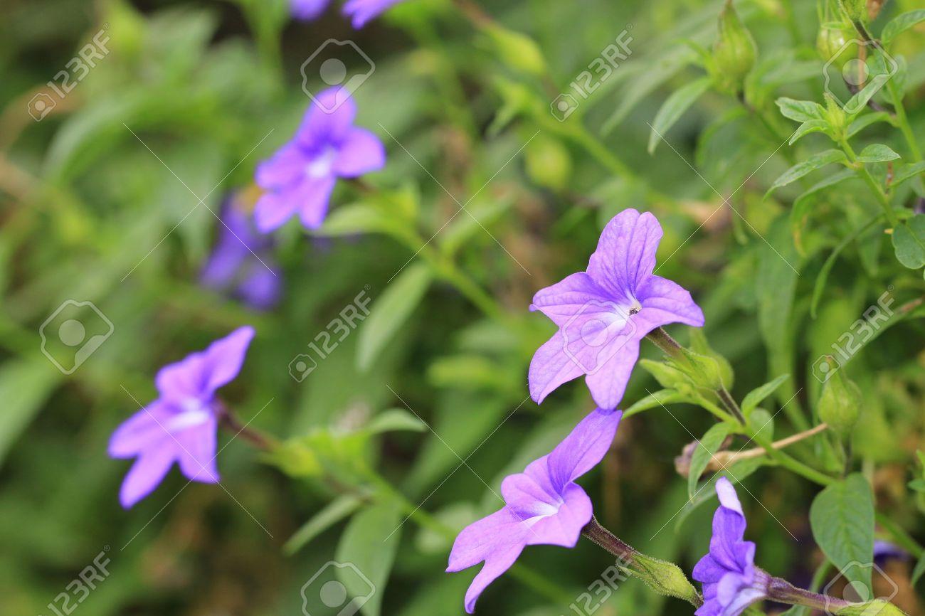 Amethyst Flowerpurple And White Amethyst Flowers Blooming In