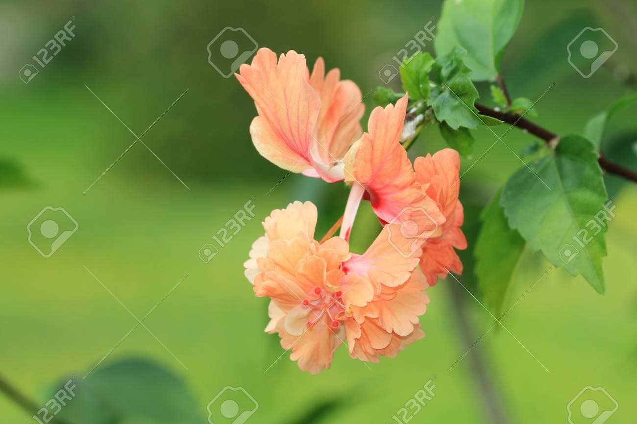 Hibiscus Flowerorange And Yellow Flower Blooming In The Garden