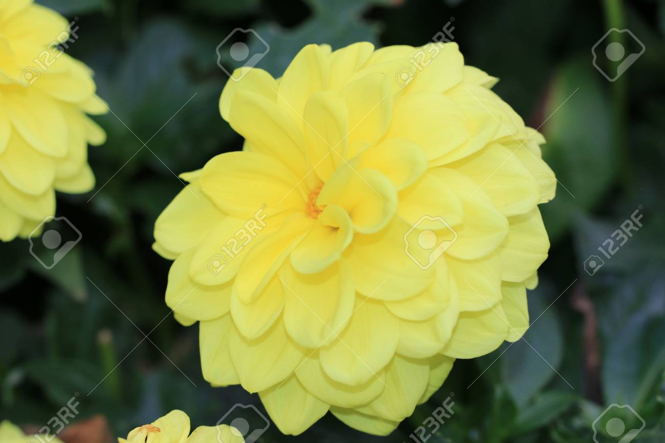 Dahlia flowercloseup of yellow dahlia flower blooming in bloom dahlia flowercloseup of yellow dahlia flower blooming in bloom stock photo 31474534 izmirmasajfo