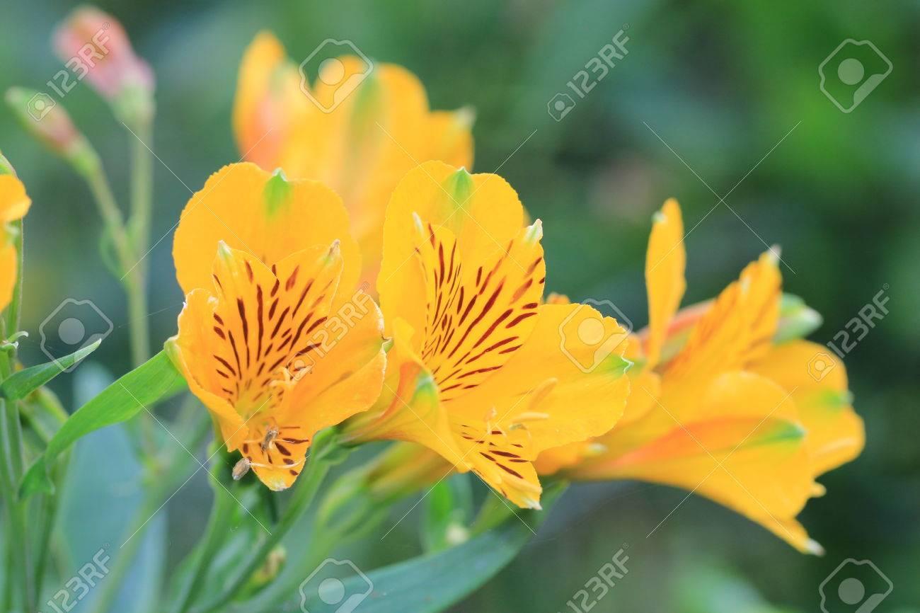 Lily flowersyellow peruvian lily flowers blooming in the garden lily flowersyellow peruvian lily flowers blooming in the gardenlily of the incas izmirmasajfo Gallery