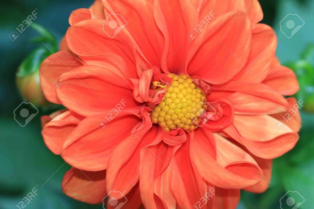 Dahlia Flower Closeup Of Orange Dahlia Flower In Full Bloom Stock