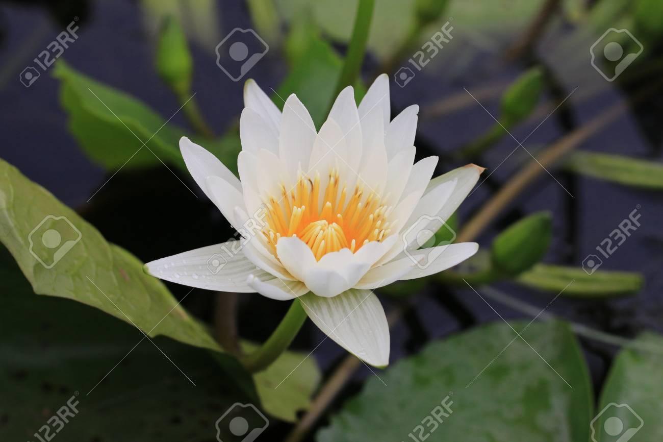 Langage des fleurs 32505674-Water-Lily-fleur-avec-goutte-d-eau-gros-plan-blanc-N-nuphar-fleur-en-pleine-floraison-avec-goutte-d--Banque-d'images