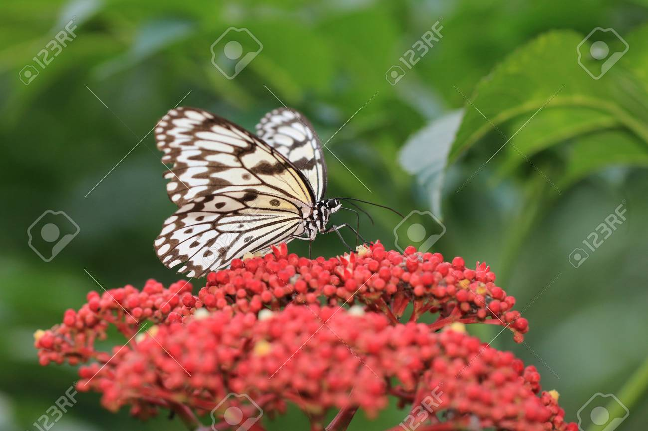 Large tree nymphs butterfly and flowersa beautiful butterfly large tree nymphs butterfly and flowersa beautiful butterfly on the red flowerspaper mightylinksfo